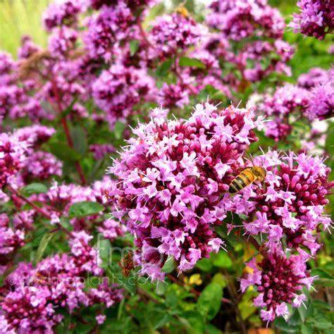 Net Name Search Florida A Large Image Of Origanum Rosenkuppel Fl From Plant Encyclopedia