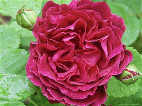 imagenes de rosas naturales hermosas image gallery las rosas mas bonitas