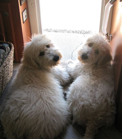 goldendoodle puppies mn teddy mini schnoodle breeds picture