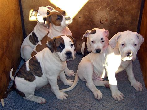 american bulldog puppies colorado american bulldog puppies rotherham south pets4homes