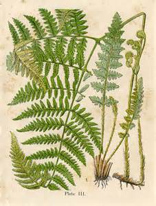 What Are Botanicals Vintage Graphic Gorgeous Ferns Early Botanical The