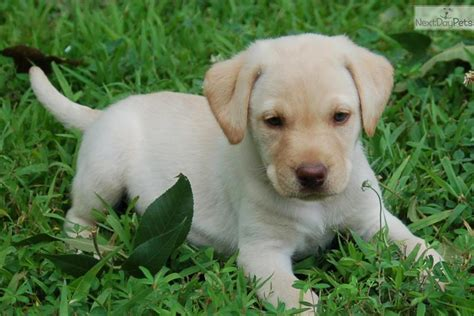 yellow lab puppies for adoption ready for adoption yellow ready for adoption ready breeds picture