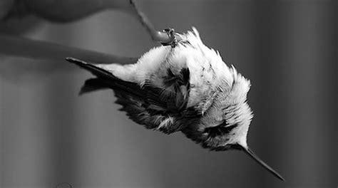 torpor ahhhh hummingbirds pinterest