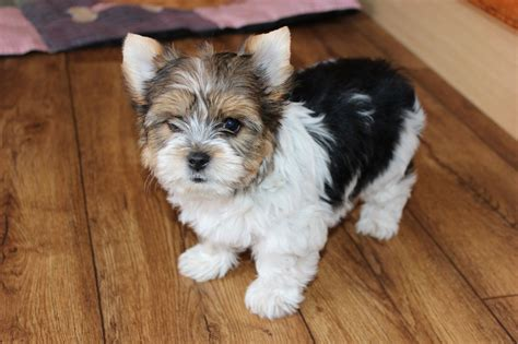 biewer yorkie puppies for sale biewer terier puppies for sale doncaster south pets4homes