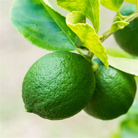 lime fruit trees bloomsz citrus fruit tree pesian lime 1 year 32