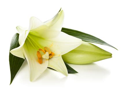 easter lily png www pixshark com images galleries with
