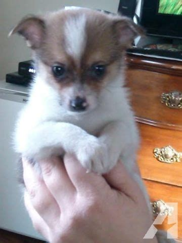 puppies for sale tacoma wa pomeranian chihuahua puppies pomchi for sale in tacoma washington classified