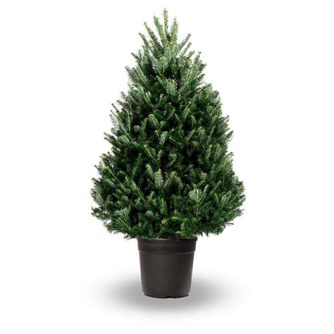 pot grown fraser fir abies fraseri jadecliff