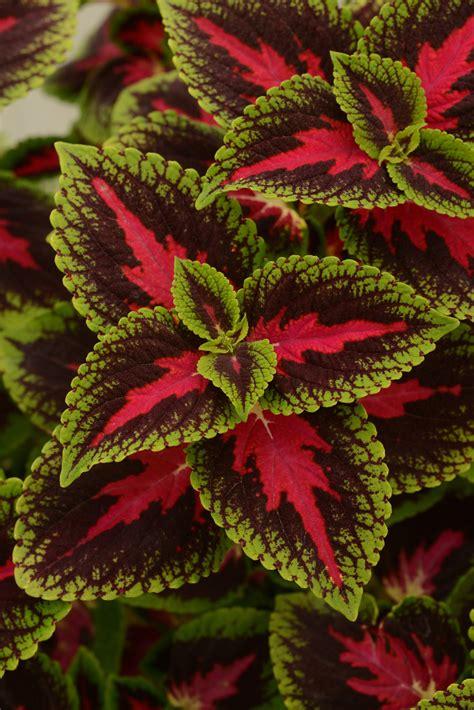 coleus french quarter  plants bargain garden