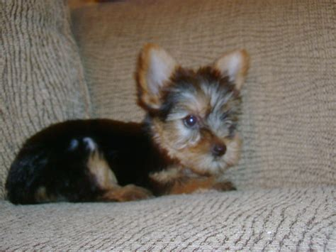 grey yorkie poo gray yorkie poo puppies gray yorkie poo puppies hairstylegalleries gray yorkie