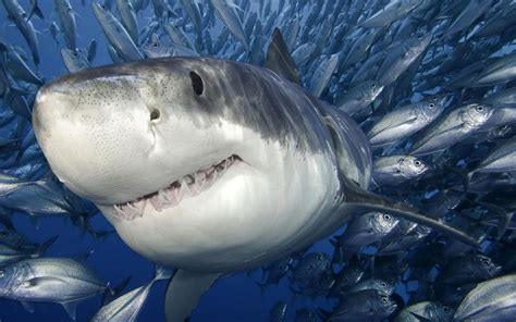 baby shark hd hd sharks wallpapers and photos hd animals wallpapers