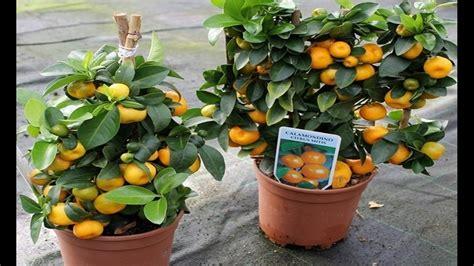 cara membuat cakwe yang cepat cara membuat tabulot tanaman buah dalam pot youtube