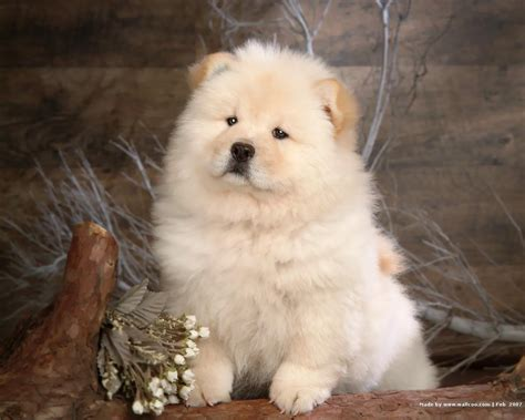 husky chow puppy chow chow wallpaper dogs wallpaper 13936823 fanpop