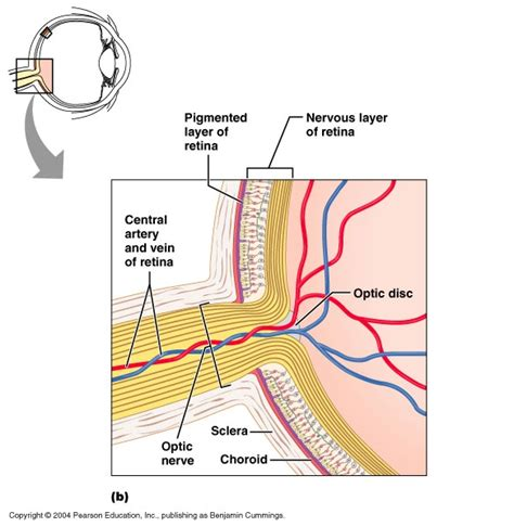 rods in the retina are the receptors for color ch 15 retina