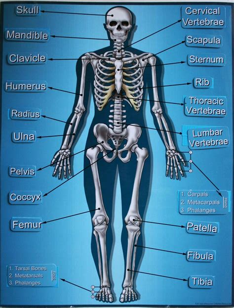 skeletal system carrot top x 3 poster learning and with velcro plus free