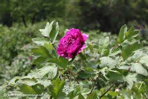 peony plant picture flower pictures 847