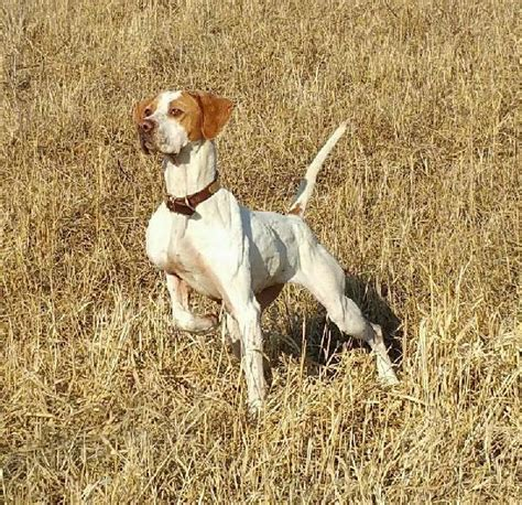 english setter finished dogs for sale hunting dogs for sale puppies finished bird dogs autos post