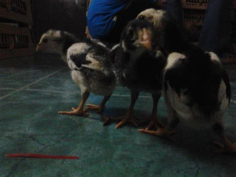 Afkir Untuk Ayam Aduan ayam bangkok 1 cv kuda hitam perkasa