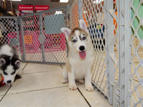 siberian husky puppies for sale wi siberian husky puppies for sale in green bay wisconsin wi eau waukesha