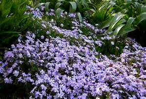 Most Fragrant Lavender Plants - phlox subulata carolyn s shade gardens