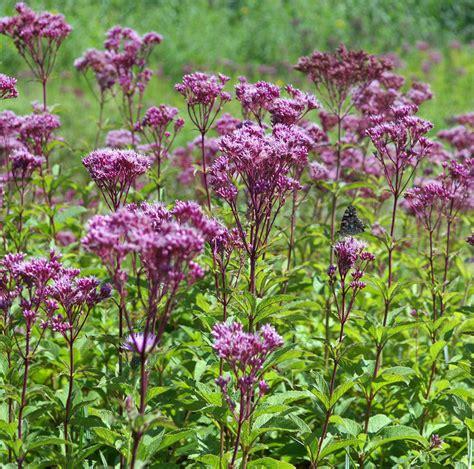 Longwood Gardens Pa by Plantfiles Pictures Eutrochium Species Sweet Joe Pye