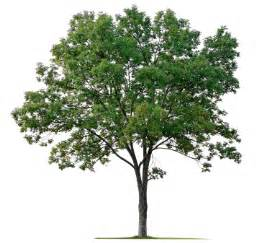 image of tree berkeley marriage counseling couples counseling in berkeley ca from licensed psychotherapist in