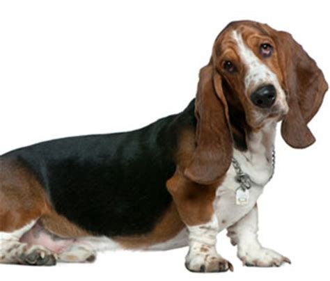 basset hound puppies for sale nc basset hound puppies for sale in nc