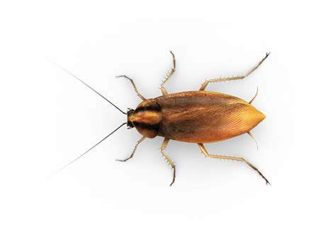 i saw a cockroach in my bathroom small roaches raid 174 bug id raid 174 brand sc johnson