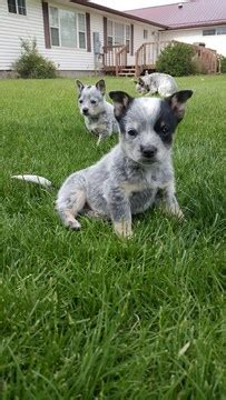 mini australian cattle puppies for sale view ad australian cattle puppy for sale colorado delta usa