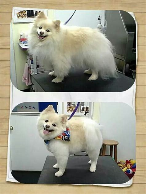 short haircuts for pomeranians 17 best images about grooming on pinterest poodles