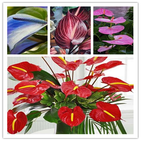 indoor plant seeds 24kinds rare african anthurium seed anthurium andraeanu