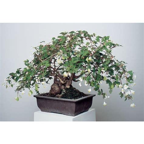 Indoor Windowsill Flowers Begonia Richardsiana Begonia Semi Tuberous Hybrid