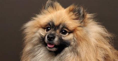 how many types of pomeranians are there pomeranian history many