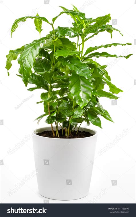 small potted plants small coffee tree potted plant isolated stock photo