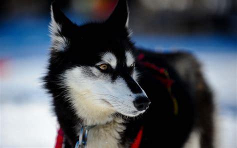 Huskies Turkis hayvansal husky duvarkağıdı
