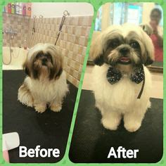 shih tzu haircuts before and after photos before and after grooming of a shihtzu before n after