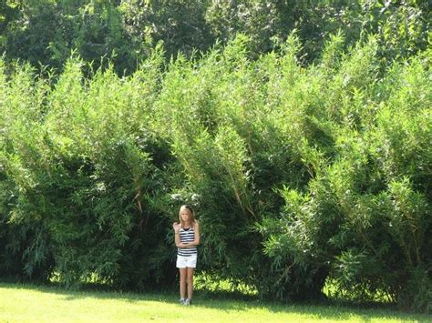 bamboo backyard privacy 25 best clumping bamboo ideas on growing