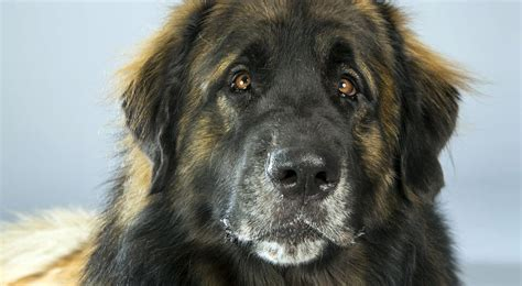 akc puppy breeders leonberger breed information american kennel club