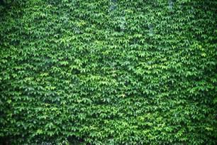 Wall of green ivy wallpaper wall mural muralswallpaper co uk