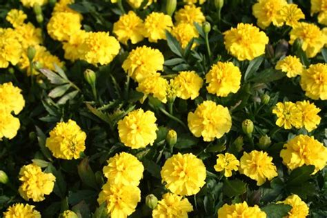 marigolds shade marigold french marigold our plants kaw valley