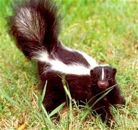 imagenes tiernas de zorrillos animales fotos dibujos imagenes fotos de zorrillos o mofetas