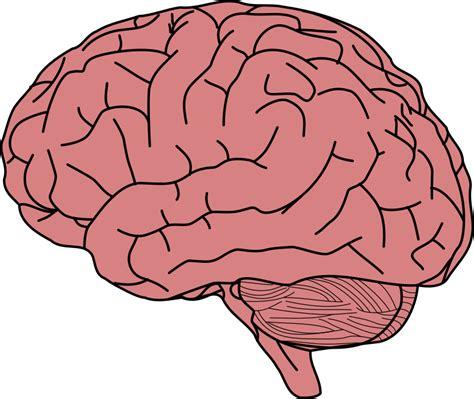 brain clipart clipart human brain