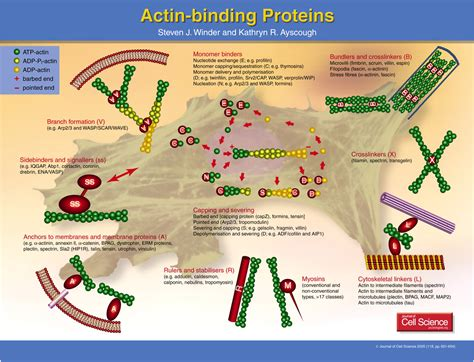 protein f aktin actin binding proteins journal of cell science
