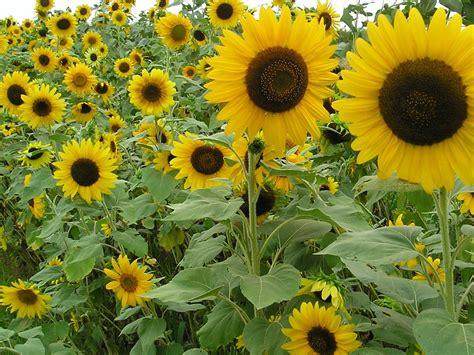 Sunflower Garden Ideas Sunflower Gardens Localharvest