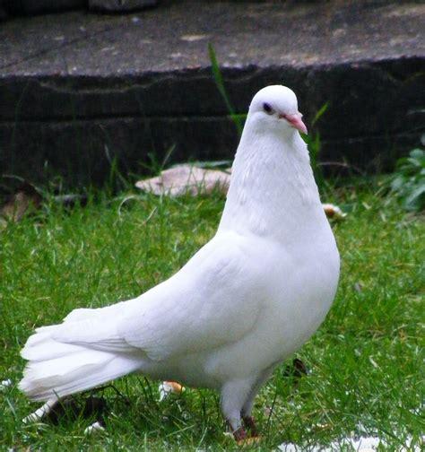 dove pigeon pigeon dove identify this wildlife the