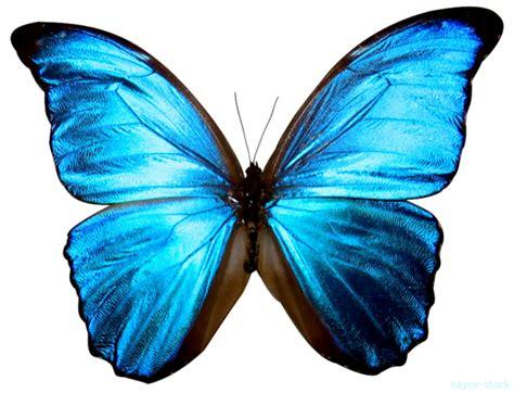 Butterfly Biru papillon bleu