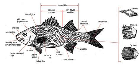 diagram of fish adw large fish diagram jpg