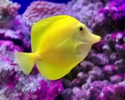Ikan Hias Laut Betmen By Blue Reef by Ikan Hias Air Laut Untuk Pemula Dunia Air
