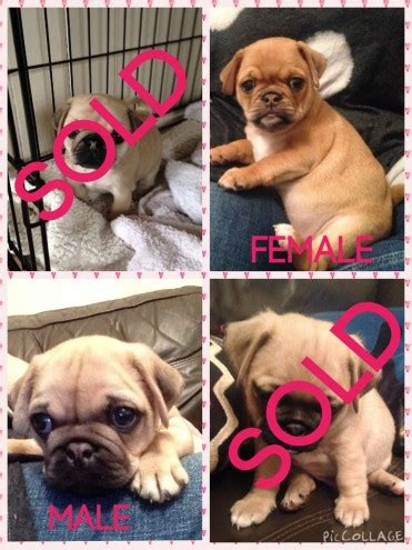 pug puppies for sale in berkshire pug puppies wokingham berkshire pets4homes