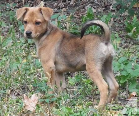 rat terrier mix puppies for sale adorable sheltie terrier small mix puppies for sale in northfield minnesota